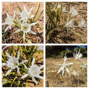 Pancratium Maritium Sea Daffodil Collage