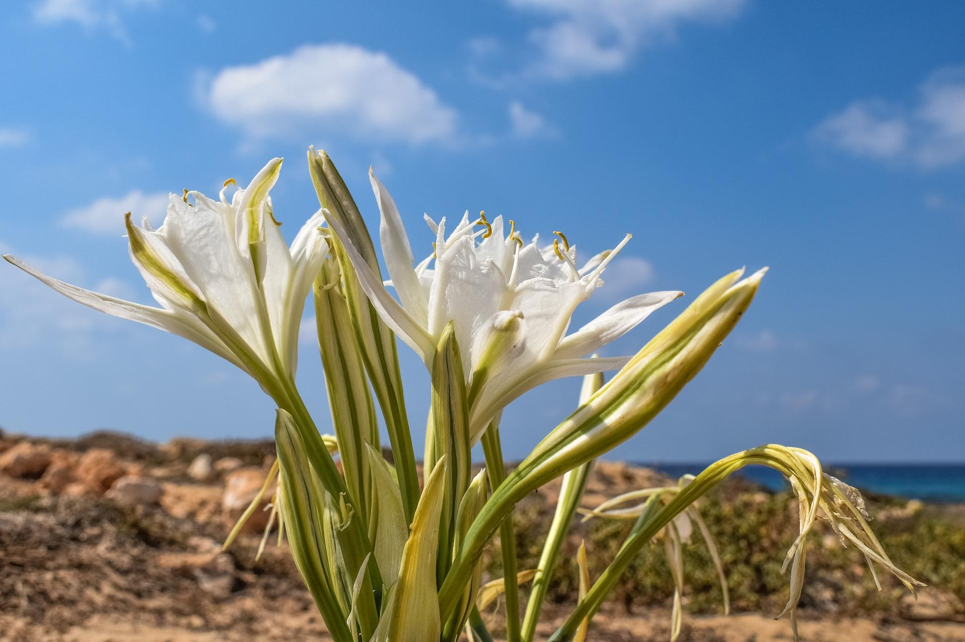 Pancratium Maritimum Sea Daffodil